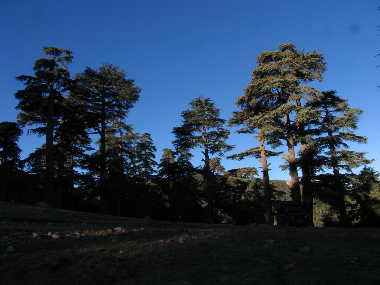 Cèdres au sud de Targuist