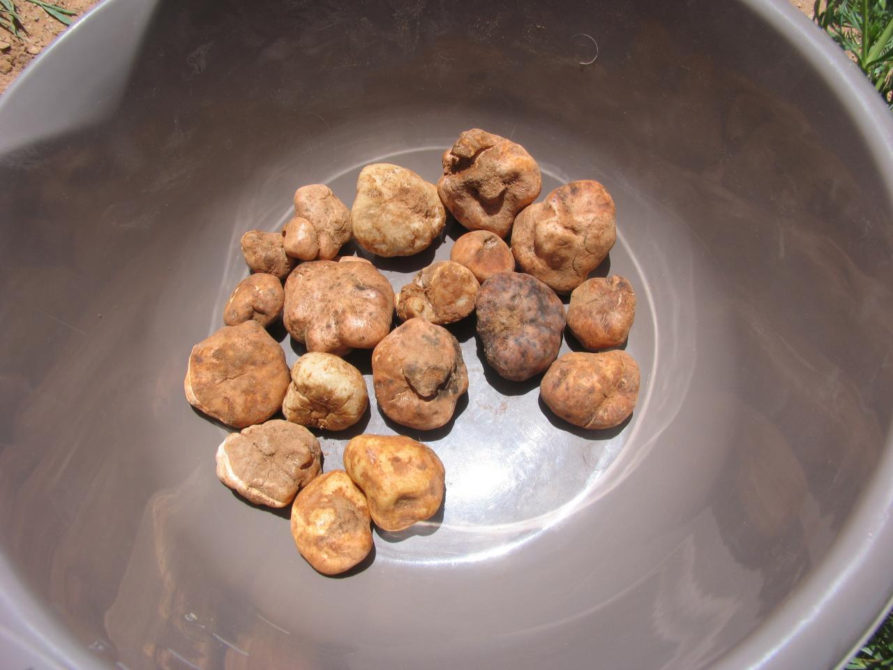 Variété de truffes blanches